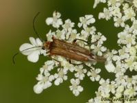 Oedemera podagrariae Oedemère ochracé femelle Dikdijkever vrouwtje