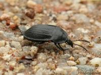 Phosphuga atrata Petit silphe noir Slakkenaaskever