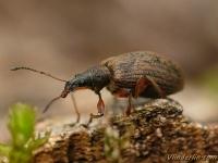 Phyllobius glaucus Charançon éperonné Grote bladsnuitkever