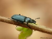 Platycerus caraboides Chevrette bleue Blauw vliegend hert