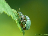 Polydrusus formosus Charançon vert soyeux Zijdeglansbladsnuitkever