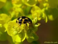 Propylea quatuordecimpunctata Coccinelle à damier Veertienstippelig lieveheersbeestje