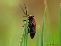 Pyrochroa serraticornis Cardinal à tête rouge Roodkopvuurkever