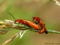 Rhagonycha fulva Téléphore fauve Kleine rode weekschildkever
