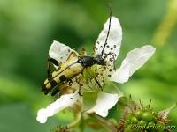 Rutpela maculata Lepture tacheté Gevlekte smalbok