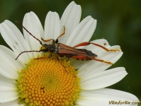 Stenopterus rufus Stenoptère roux Smalvleugelige bok