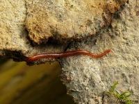 Haplophilus subterraneus Haplophilus subterraneus Compostduizendpoot