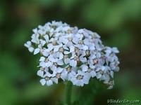 Achillea millefolium Achillée millefeuille Duizendblad