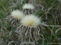 Cirsium vulgare Cirse commun Speerdistel