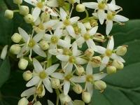 Cornus alba Cornouiller blanc Witte kornoelje