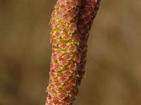 Corylus avellana Noisetier Hazelaar