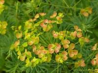 Euphorbia cyparissias Euphorbe petit-cyprès Cipreswolfsmelk