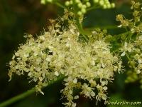 Filipendula ulmaria Reine-des-prés Moerasspirea