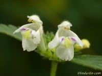 Galeopsis segetum Galéopsis des champs Bleekgele hennepnetel