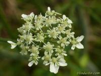 Heracleum sphondylium Berce sphondyle Gewone berenklauw