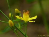 Hypericum pulchrum Millepertuis élégant Fraai hertshooi