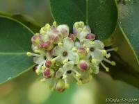 Ilex aquafolium Houx Hulst