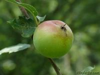 Malus sylvestris Pommier sauvage Wilde appel