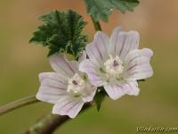 Malva neglecta Mauve à feuilles rondes Klein kaasjeskruid