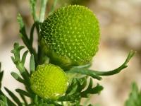 Matricaria discoidea Matricaire odorante Schijfkamille