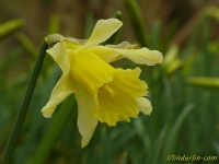 Narcissus pseudonarcissus Jonquille sauvage Wilde narcis