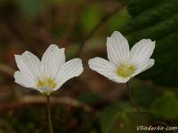 Oxalis acetosella Oxalis petite oseille Witte klaverzuring