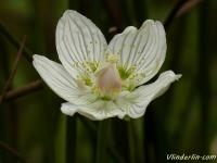 Parnassia palustris Parnassie des marais Parnassia