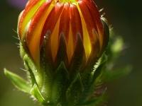 Picris hieracioides Picride fausse épervière Echt bitterkruid