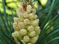 Pinus sylvestris Pin sylvestre Grove den