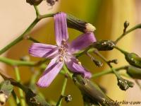 Prenanthes purpurea Prénanthe pourpre Rode bergsla