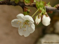 Prunus avium Merisier Zoete kers