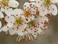 Prunus spinosa Prunellier Sleedoorn