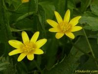 Ranunculus ficaria Ficaire fausse-renoncule Gewoon speenkruid