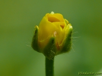 Ranunculus flammula Renoncule flammette Egelboterbloem