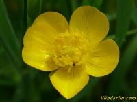 Ranunculus repens Renoncule rampante Kruipende boterbloem