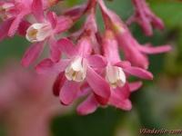 Ribes sanguineum Groseillier à fleurs Ribes Rode ribes