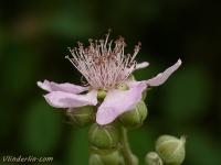 Rubus fruticosus Ronce commune Gewone braam