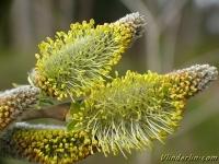 Salix caprea Saule marsault Boswilg