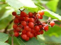 Sambucus racemosa Sureau à grappes Trosvlier