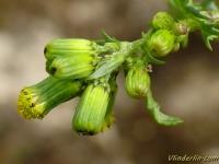 Senecio vulgaris Séneçon commun Klein kruiskruid