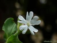 Silene latifolia subsp alba Compagnon blanc Avondkoekoeksbloem