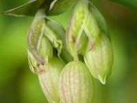 Silene vulgaris Silène enflé Blaassilene