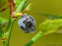 Vaccinium myrtillus Myrtille Blauwe bosbes