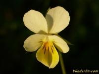 Viola arvensis Pensée des champs Akkerviooltje