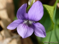 Viola ordata Violette odorante Maarts viooltje