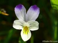 Viola tricolor Pensée sauvage Driekleurig viooltje