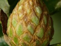 Andricus foecundatrix Galle artichaut du chêne Ananasgalwesp