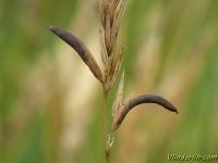 Claviceps purpurea Ergot du seigle Echt moederkoren