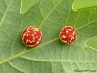 Cynips longiventris  Cynips des galles du chêne Grijze fluweelgalwesp