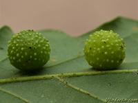 Cynips quercusfolii  Cynips des galles cerises du chêne Galappelwesp